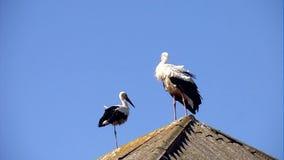 White storks stock footage