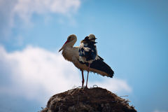 White storks on their nest Royalty Free Stock Image