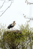 White storks Royalty Free Stock Images