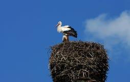 White Storks Royalty Free Stock Photos