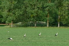White storks walking on a green field Royalty Free Stock Photo