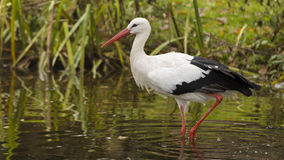White storks. Wildpark Forest Bayern Germany Royalty Free Stock Photo