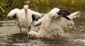 White storks. Wildpark Forest Bayern Germany Stock Photo