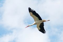 White storl flying in the sky Stock Images