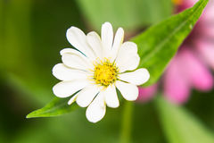White Straw flower Stock Photos