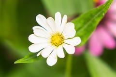 White Straw flower Stock Photos