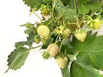 A white strawberries fruit on a strawberry tree isolated on white background. Many of white strawberries fruit on a strawberry tree isolated on white background royalty free stock images