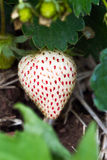 White strawberry Stock Image