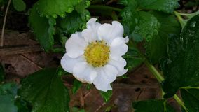 White strawberry flower Stock Photo