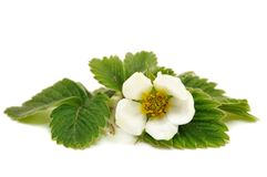 White strawberry flower on white background Stock Images