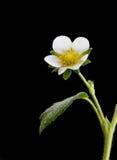 White Strawberry plant flower Stock Photos