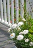 White Strawflowers Xerochrysum bracteatum. In a planter Stock Image