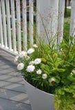 White Strawflowers Xerochrysum bracteatum. In a planter Royalty Free Stock Images