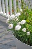 White Strawflowers Xerochrysum bracteatum. In a planter Royalty Free Stock Photos