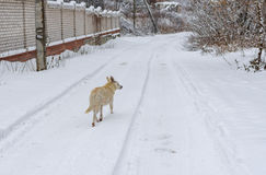 White stray dog running on a winter road searching some food. Mixed breed white stray dog running on a winter road searching some food Stock Photos
