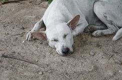 White stray dog  sleep relaxing on the sand.  Stock Images