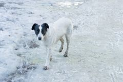 White stray puppy is standing on park road in the city in winter sunny day. Abendoned pet is looking for new owner royalty free stock images