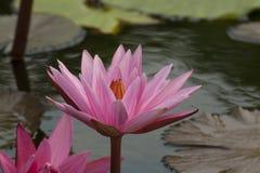White strip pink lotus Royalty Free Stock Image