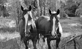 White stripe horses. Two brown/red horses, each with a white stripe down their Stock Image