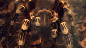 White Stripe Tarantula. stock video footage