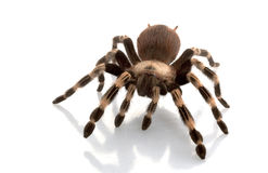 White-striped Birdeater Stock Photography