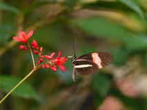 White striped butterfly Royalty Free Stock Photo