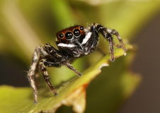 White striped jumping spider on a lime leaf. Macro shot of a white striped jumping spider on a lime leaf Royalty Free Stock Photos