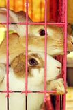 White striped rabbit in a cage. Royalty Free Stock Photos