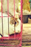 White striped rabbit in a cage. Stock Image