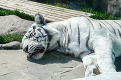 White striped tiger sleeping on the rocky floor.  royalty free stock photos