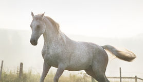 White, strong horse on freedom Stock Photography