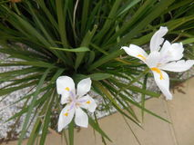 White suburban sidewalk irises, flowers Stock Images