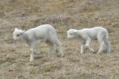 A white suffolk lamb Stock Images