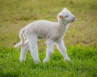 White suffolk lamb Stock Images
