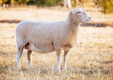 White suffolk sheep Royalty Free Stock Photos