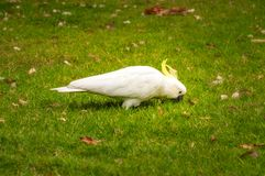 A white sulfur-crested cockatoo at the Royal Botanical Garden in. A white sulfur-crested cockatoo looking for food in the grass at the Royal Botanical Garden in Stock Image