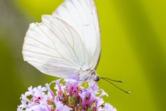 White Sulphur butterfly, close up macro shot Stock Photography