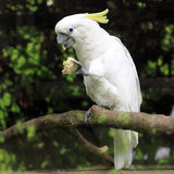 White sulphur crested cockatoo cacatua bird Stock Image