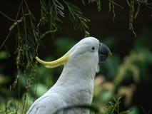 Cockatoo royalty free stock photo