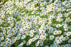Summer field of camomile flowers blossom. Selective focus. White summer field of camomile flowers blossom. Selective focus stock photos