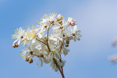 White summer flower close up. White summer flower - Dropwort - close up by a blue sky Royalty Free Stock Images