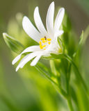 White summer flower close up. On green blurred background Stock Photography