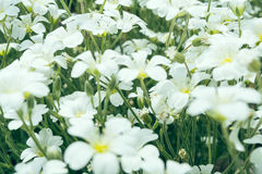 White summer flowers Stock Images