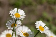 White flowers in the foreground Royalty Free Stock Images