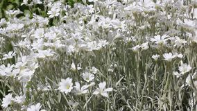 White summer flowers sway in wind stock footage