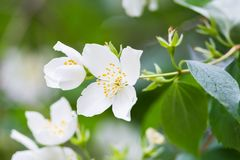 White Summer Philadelphus Flower on a Tree Stock Photos