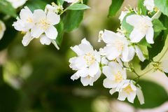 White Summer Philadelphus Flower on a Tree Royalty Free Stock Photo
