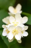 White Summer Philadelphus Flower on a Tree with Short Depth of Field Royalty Free Stock Photo