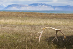 White sun bleached reindeer antlers on Barentsoya, Svalbard, Nor stock photos