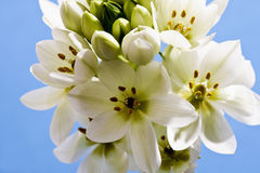 White sun star flowers, Ornithogalum Stock Photo